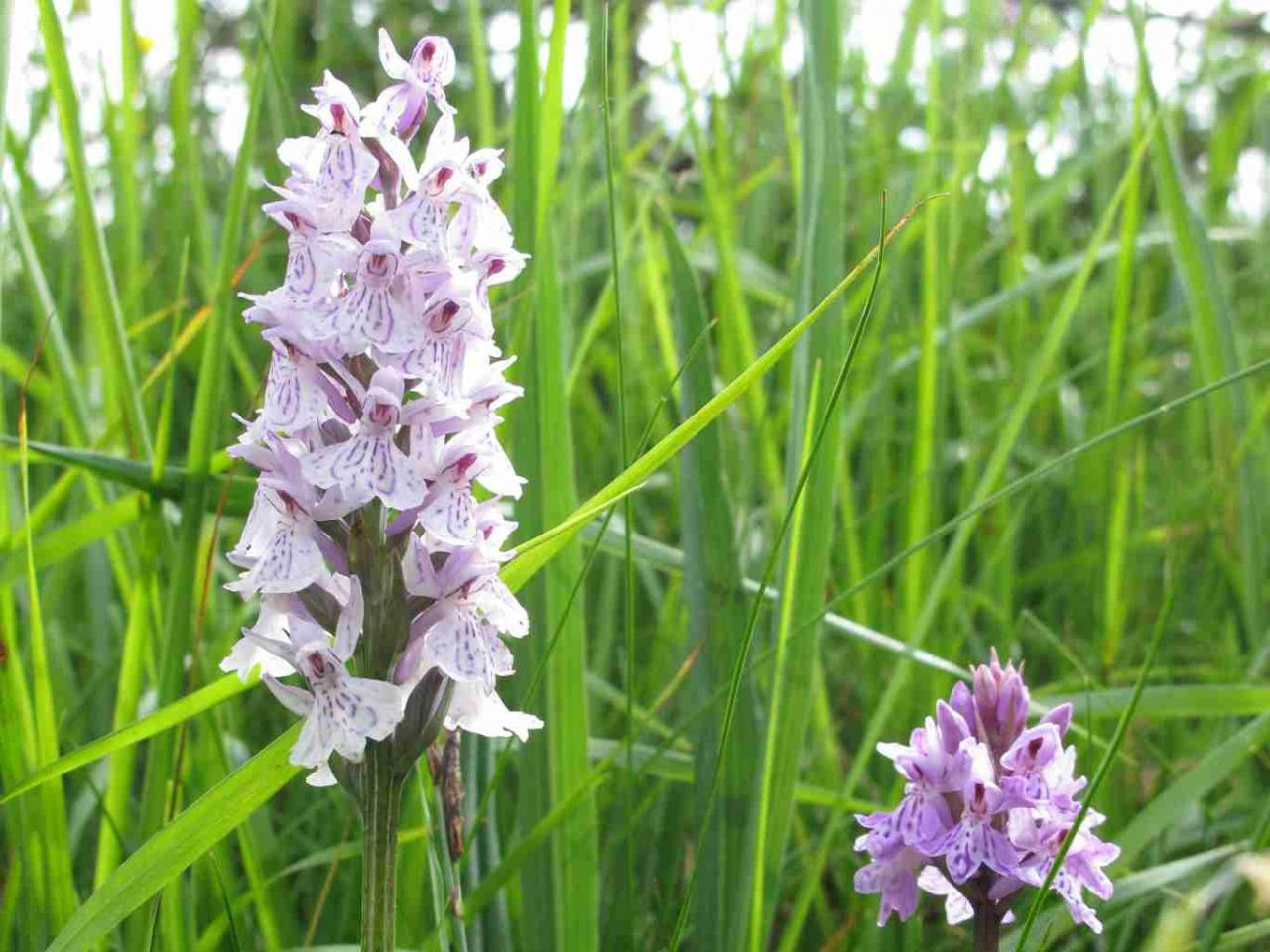 orchis-tachet_7439490646_o