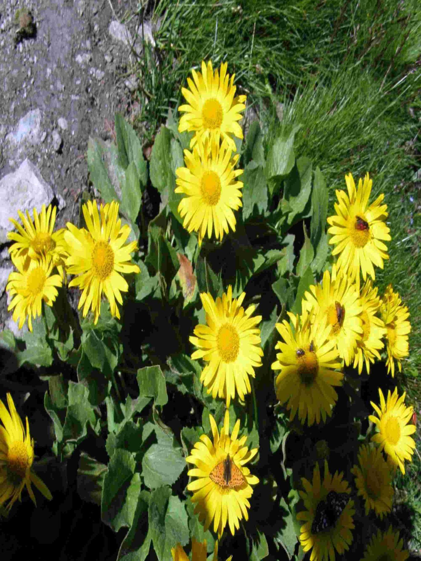 Doronics grandes fleurs 2887285589 o